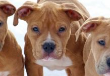 American Pit Bull Terrier Rescue