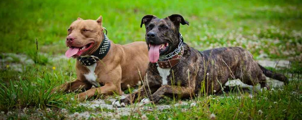 Raw Food for Beginners - How Does it Effect Your Pit Bulls Diet?