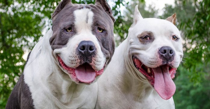 Dog Fighting and Pit Bulls: Time For a Wake Up Call