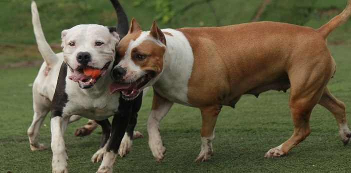 History of the American Pit Bull Terrier
